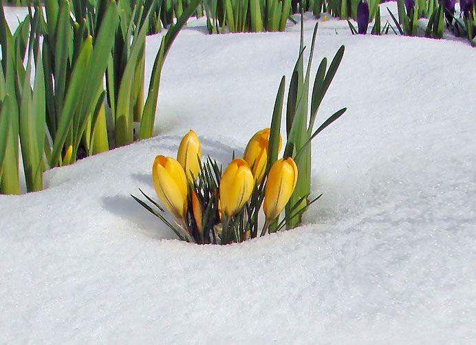fiori gialli sulla neve